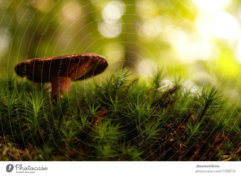 eigentlich hasse ich Schwammerl Bilder grün schön Baum Sonne Wald Herbst Gras Wachstum stehen Bodenbelag Halm Pilz herbstlich Waldboden