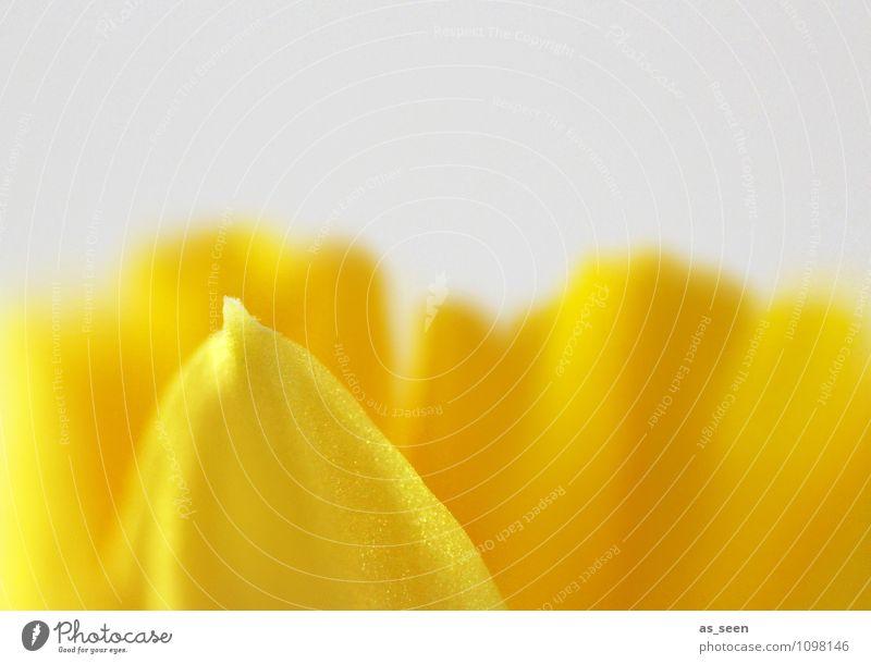 Osterglocke Stil Design Wellness Leben harmonisch Umwelt Natur Pflanze Frühling Blume Blüte Blütenblatt Gelbe Narzisse Garten Park Blühend leuchten Wachstum