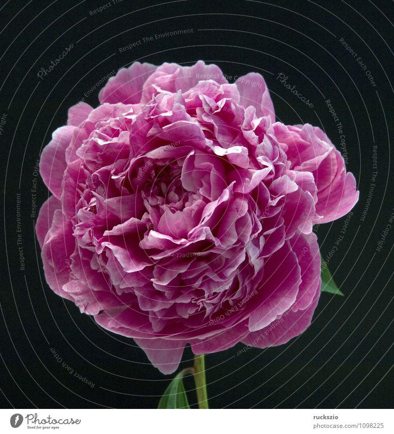 Pfingstrose; Paeonia Natur Pflanze rot Blume schwarz Blüte Hintergrundbild Garten frei Stillleben Schlag Objektfotografie neutral Sommerblumen freilassen