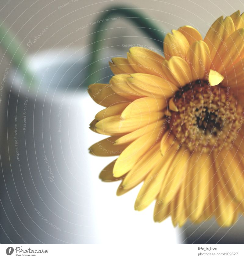 sanfte_erinnerungen Blume schön Gerbera Erinnerung Stengel einzigartig Kraft Blüte Makroaufnahme Nahaufnahme orange weiße Vase Duft Freude Flower Natur