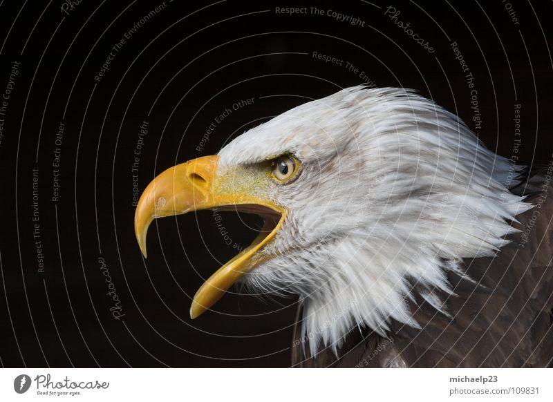 Weißkopfseeadler Vogel Tier Adler Seeadler Weisskopfseeadler