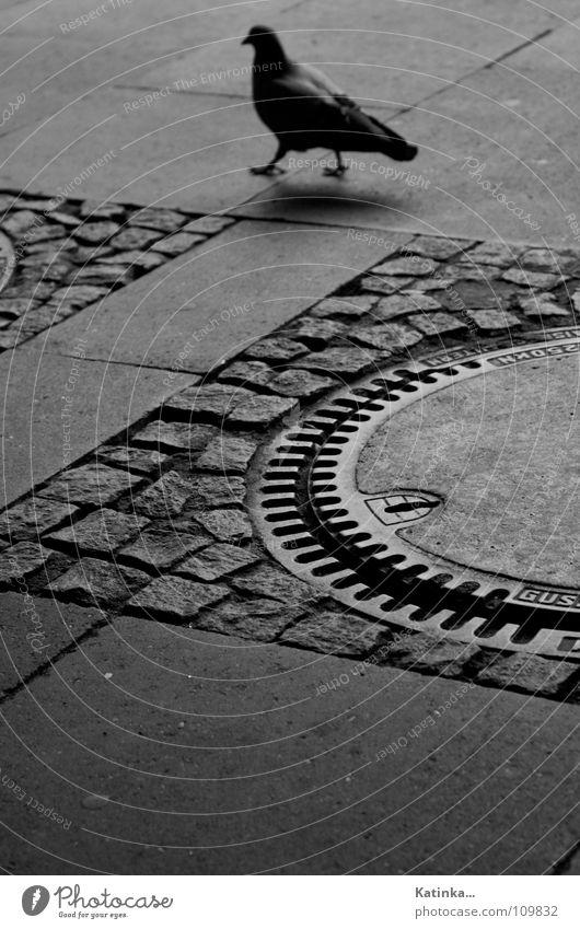 Spaziergang Taube langsam leer grau schwarz weiß verloren Trauer Gully Asphalt Fußgänger Einsamkeit Vogel Krallen Außenaufnahme ruhig Bahnhof Schwarzweißfoto