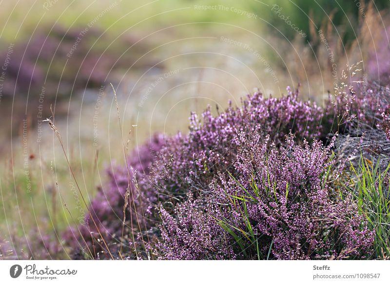 Kraft | der Natur, Heidesträucher in Schottland wilde Natur nordische Natur schottischer Sommer nordische Romantik nordische Flora Stille in der Natur