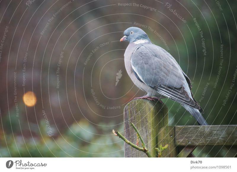 Ringeltaube im Morgengrauen Pflanze grün weiß Baum Einsamkeit Tier dunkel gelb Holz Garten braun Vogel rosa nachdenklich Wildtier