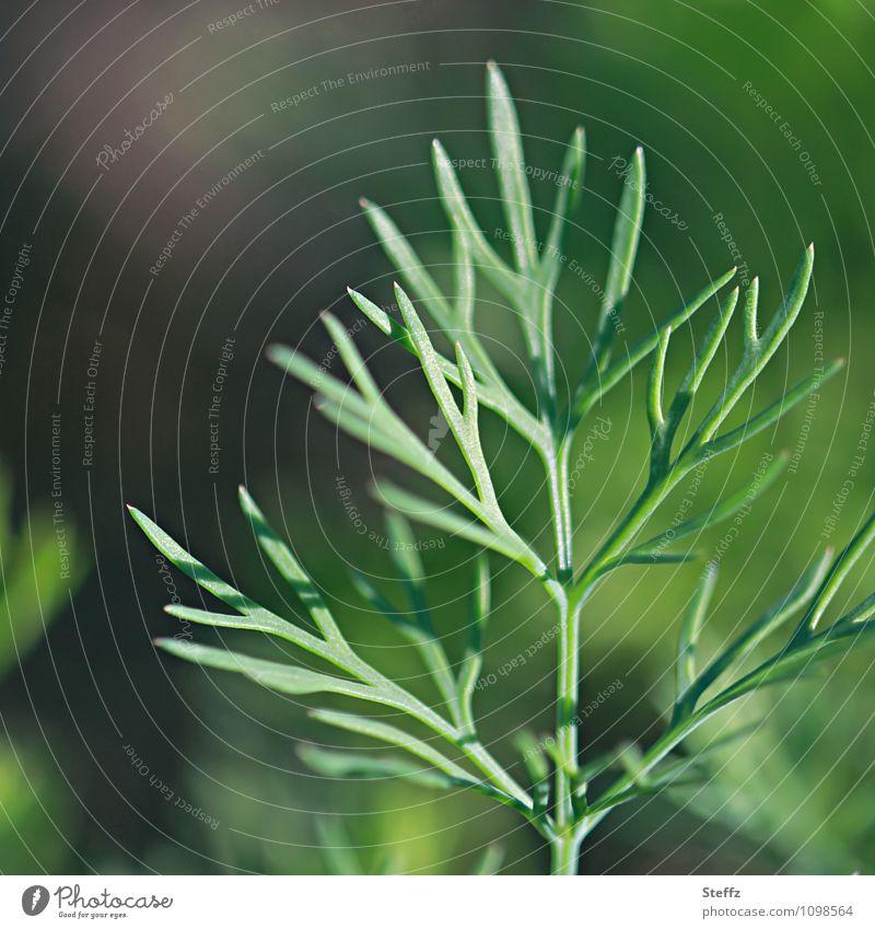 alles Karotte III Natur Pflanze grün Sommer Garten Wachstum frisch neu Nutzpflanze Möhre Jungpflanze zartes Grün Gartenpflanzen Gemüsegarten