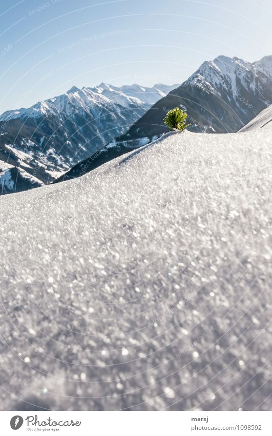 Latschenschopf in Eiskristallhügel Himmel Natur Pflanze Baum Landschaft Winter kalt Berge u. Gebirge Schnee Freiheit Felsen Tourismus Ausflug Lebensfreude