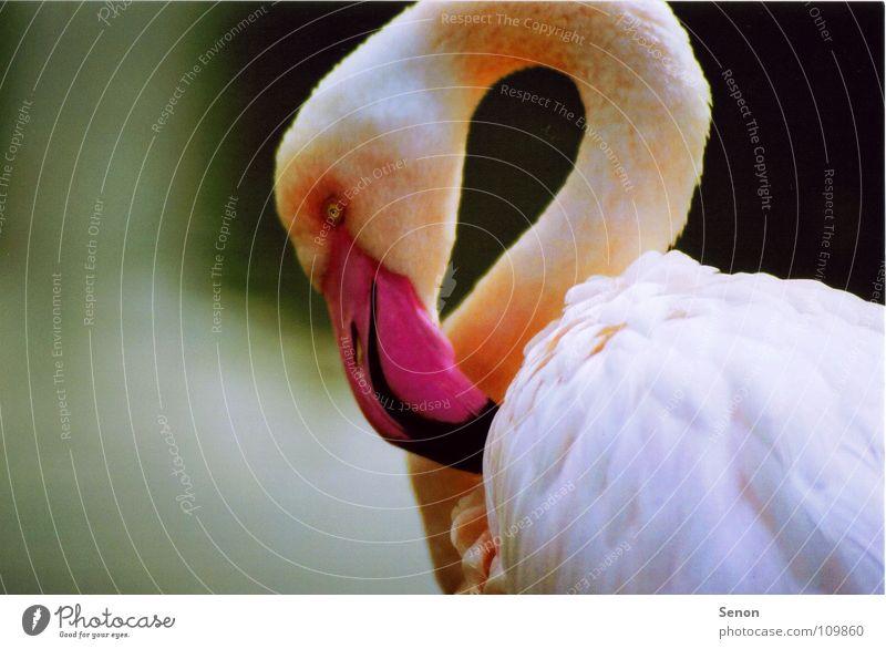 Flamingo Tier Vogel rosa nah Feder Zoo Hals Schnabel Flamingo