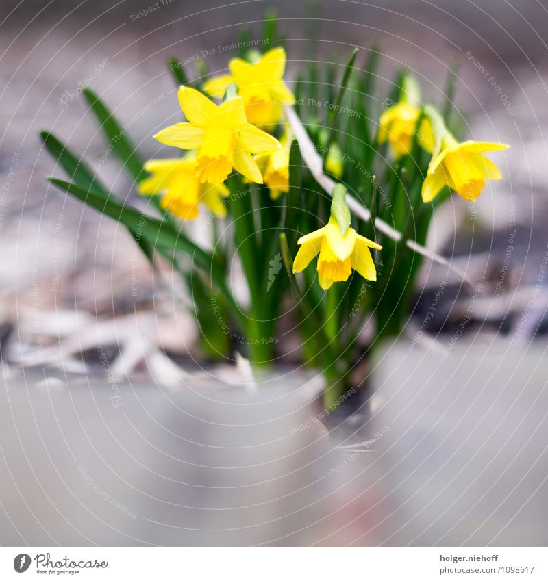 Frühblüher Garten Natur Pflanze Frühling Blume Gelbe Narzisse ästhetisch Duft Freundlichkeit weich gelb grün Zufriedenheit Frühlingsgefühle Leben Erholung