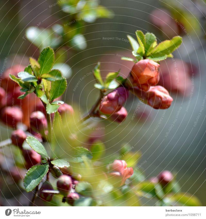 Zierquitte Natur Pflanze Frühling Sträucher Blatt Blüte Scheinquitte Quittenblüte Garten Blühend grün rosa Stimmung Frühlingsgefühle Vorfreude Romantik