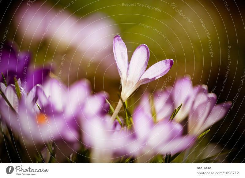 the ONE elegant Sonnenbad Natur Pflanze Sonnenlicht Frühling Schönes Wetter Blume Gras Blüte Wildpflanze Blütenstiel Frühblüher Krokusse Garten Blühend Erholung