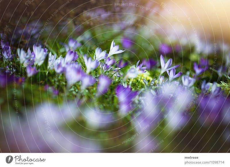 Frühlingsleuchten Natur Pflanze schön grün Blume Gras Blüte Stil Garten Freundschaft träumen Zufriedenheit elegant gold