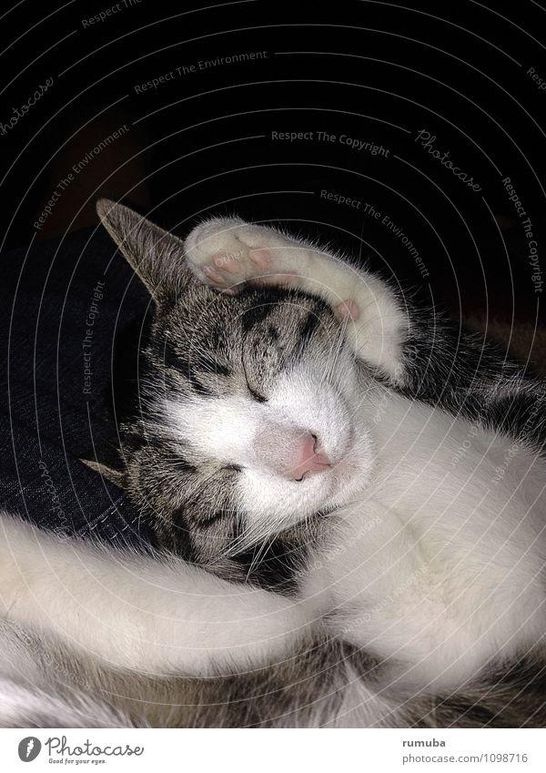 Kalli schläft Tier Haustier Katze Tiergesicht 1 Tierjunges berühren liegen träumen Glück kuschlig positiv grau weiß Gefühle Zufriedenheit Vertrauen Geborgenheit