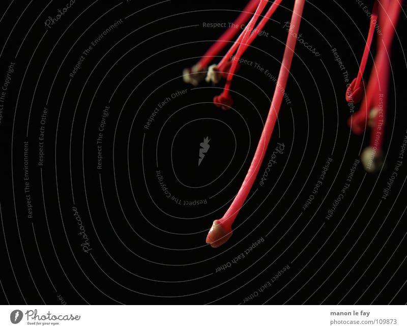 abhängen! Fuchsie rot schwarz weiß Pflanze Blüte skurril Leben Blütenstempel Staubfäden außergewöhnlich Zimmerpflanze Nacht nah Makroaufnahme Nahaufnahme Natur
