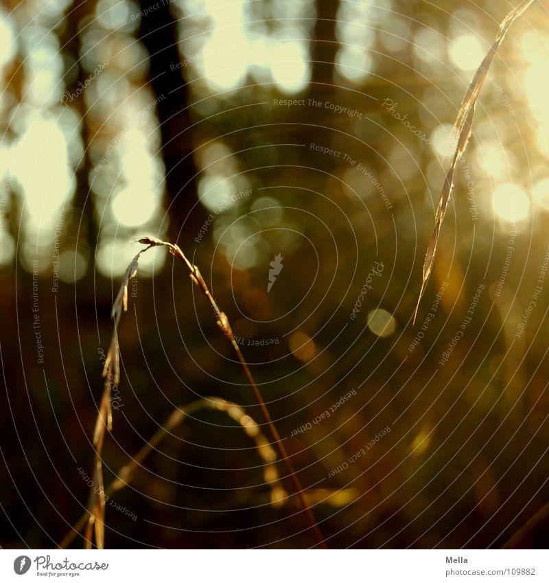 Herbstsonnengräser Gras Wald Sonne Beleuchtung Abend Abendsonne Baum Gold Lichterscheinung Schönes Wetter herbstlich