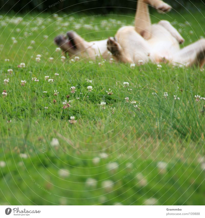 Ich lach' mich tot! Hund Wiese Blume grün Fell Rückenlage Lebensfreude Zufriedenheit Sommer Magdeburg Säugetier Lilli Freude Glück