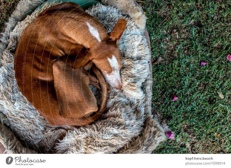 Rollmops von oben Garten Tier Hund Podenco 1 alt Erholung genießen liegen schlafen träumen kuschlig Zufriedenheit Geborgenheit Warmherzigkeit Tierliebe ruhig