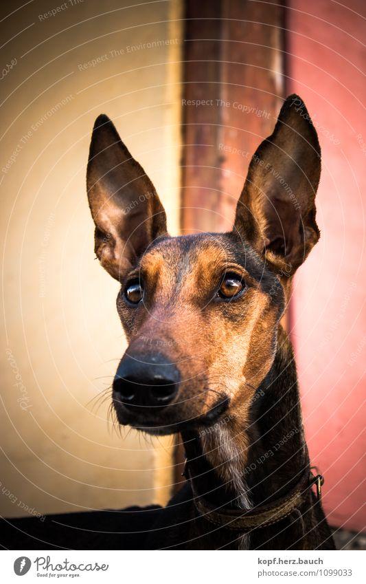 Dumbos Bruder Hund Tier Ferne Leben ästhetisch groß Wunsch Ohr entdecken Konzentration Mut Tiergesicht Inspiration Willensstärke Entschlossenheit Tierliebe