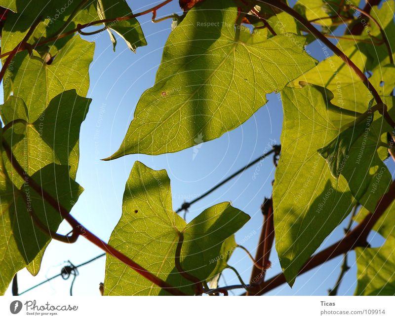 Im Weinberg Blatt grün Weinbau Gegenlicht Himmel leaf leaves vineyard wine winegrowing backlight frontligthing sky blue