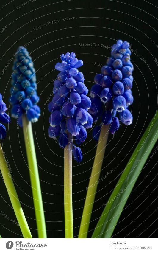 Traubenhyazinthe; Muscari Armeniacum Natur blau Pflanze Blume schwarz Frühling Blüte Hintergrundbild Garten frei Stillleben Objektfotografie Blütenpflanze