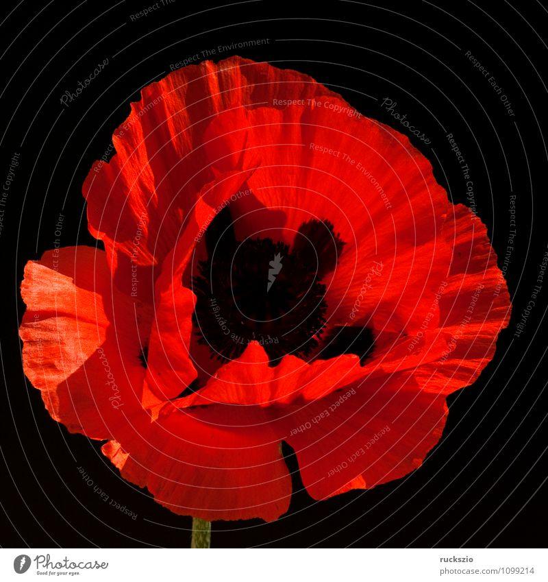Tuerkischer; Mohn; Papaver; orientale; Natur Pflanze rot Blume schwarz Blüte Hintergrundbild Garten frei Stillleben Schlag Türkei Objektfotografie neutral