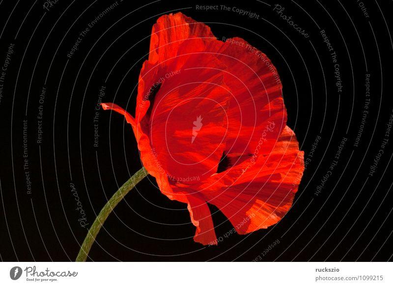 Tuerkischer; Mohn; Papaver; orientale; Natur Pflanze Blume Blüte Garten frei rot schwarz Türkei Orientalischer Tuerkenmohn Klatschmohn Sommerblumen Gartenblume