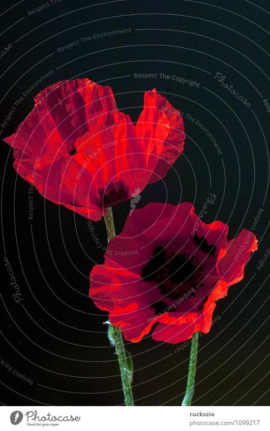 Tuerkischer, Mohn, Papaver, orientale, Natur Pflanze rot Blume schwarz Blüte Hintergrundbild Garten frei Stillleben Schlag Türkei Objektfotografie neutral