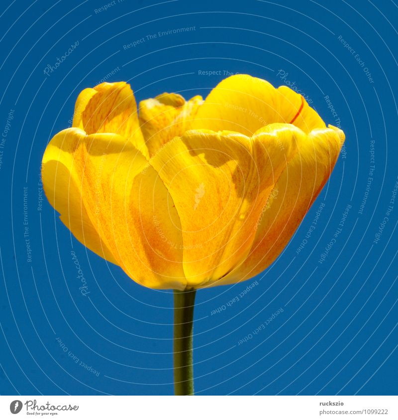 Tulpenbluete, gelbe Natur Pflanze Frühling Blume Blüte Garten Blühend frei blau Tulpenblüte Tulipa Frühlingsblume Fruejahrsblume Frühblüher Fruejahrsblumen