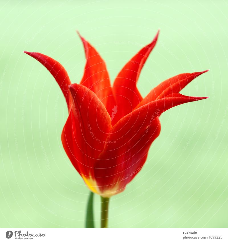 lilienfoermige Tulpe Natur Pflanze Frühling Blume Blüte Garten Blühend grün rot Tulpenblüte Tulipa Frühlingsblume Fruejahrsblume Frühblüher Fruejahrsblumen