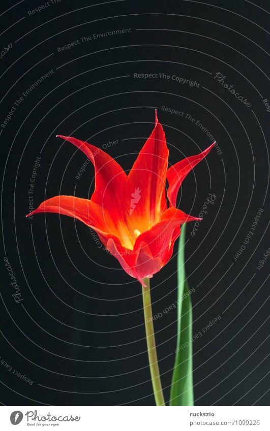 lilienfoermige Tulpe Natur Pflanze rot Blume schwarz Frühling Blüte Hintergrundbild Garten frei Blühend Stillleben Schlag Objektfotografie Blütenpflanze