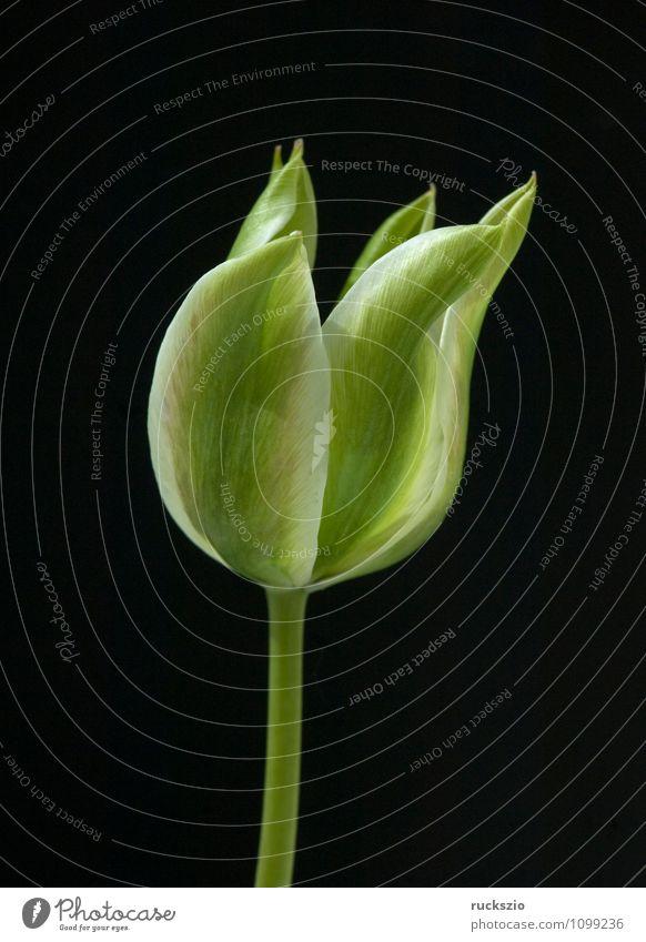 Viridiflora Tulpen, Spring Green, Natur Pflanze grün Blume schwarz Frühling Blüte Hintergrundbild Garten frei Blühend Stillleben Schlag Objektfotografie
