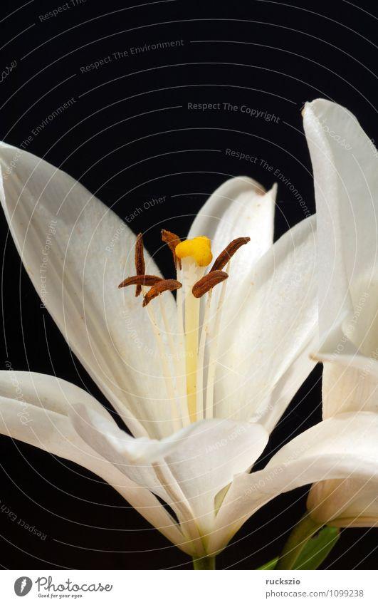 Weisse, lilie; hybride; lilien; hybriden; Natur Pflanze weiß Sommer Blume schwarz Blüte Hintergrundbild Garten frei Stillleben Schlag Objektfotografie Lilien neutral Zwitter