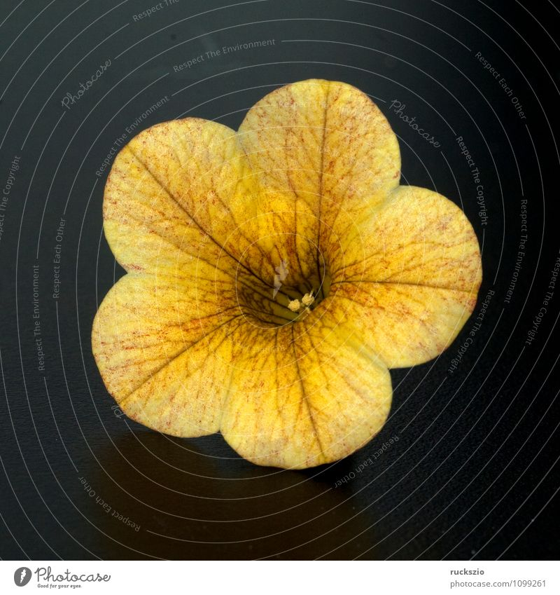 Petunie, Pitunia, Calibrachoa, Natur Pflanze Blume Blüte Topfpflanze Balkon Terrasse Ampel frei orange rosa schwarz Carillon kleinbluetige Surfinia Celebration