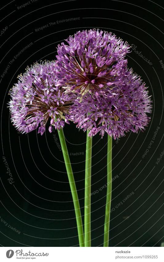 Zierlauch, Riesenlauch, Allium, Giganteum; Natur Pflanze Blume schwarz Blüte Dekoration & Verzierung violett Blütenstauden Ambiente Porree Blumenbeet Salbei