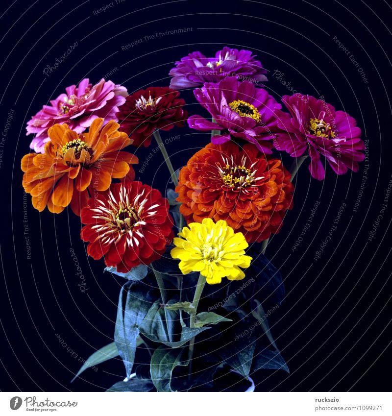 Zienienstrauss Natur Pflanze Blume Blüte frei mehrfarbig schwarz Zinnie Zinnia angustifolia Sommerblumen Gartenblume Gartenblumen Zierpflanze zinnien