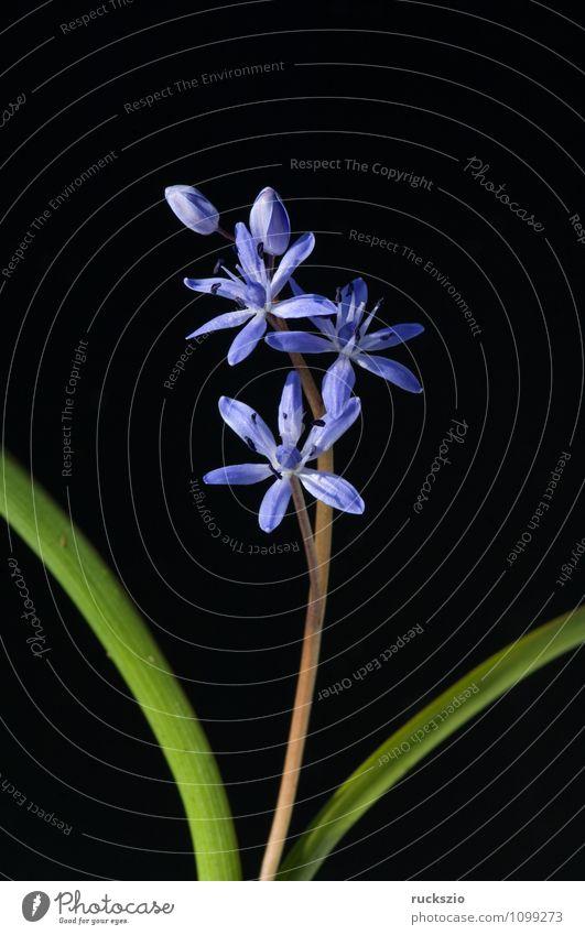 Zweiblaettriger Blaustern, Scilla bifolia, Natur blau Pflanze Blume Winter schwarz Frühling Blüte Garten authentisch frei Blühend planen Botanik Stillleben