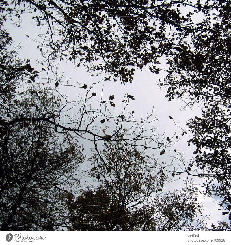 Baumkronen Herbst Wald Blatt Winter schwarz weiß unten Himmel Ast Zweig Natur blau Schatten hoch