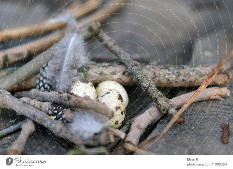 Ei Ostern Tier Vogel klein Vogeleier Horst Nest Osternest Wachtelei Metallfeder perlhuhn Ast Zweig Nestwärme Zweige u. Äste Farbfoto Gedeckte Farben