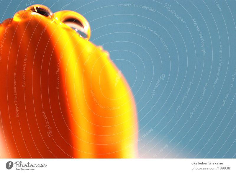 tears in heaven #2 gelb Makroaufnahme Nahaufnahme drop blue orange flower