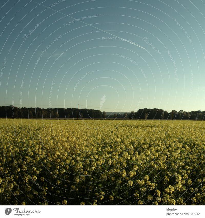 idyllic Idylle Raps gelb grün Flugzeug Kondensstreifen Wald Pflanze Quadrat Himmel Feld Landwirtschaft Landschaft blau hell Detailaufnahme idyllically landscape
