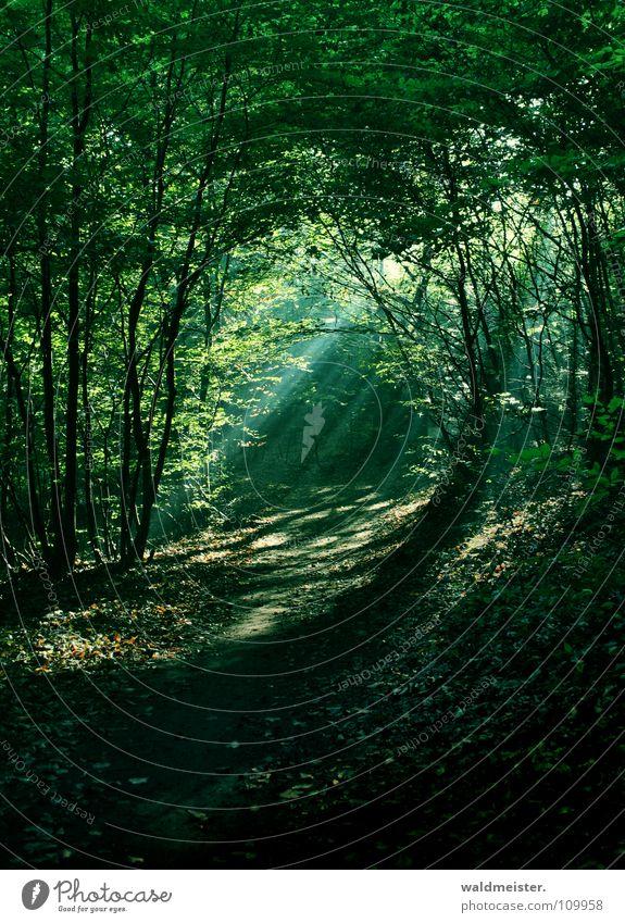 Morgens im Wald Baum Sonne grün Wald Nebel Romantik Urwald feucht mystisch Märchen Zauberei u. Magie Lichtstrahl Märchenwald