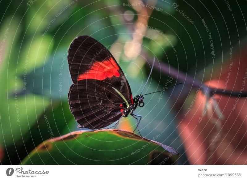 Mr. Postman Natur rot Tier schwarz sitzen Flügel Schmetterling