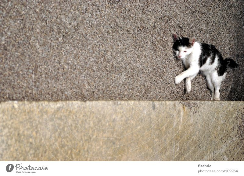 schräge katze weiß ruhig schwarz Tier Erholung Stein Katze Beton liegen Säugetier Kies Hauskatze