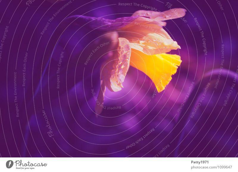 Osterglocke Natur Pflanze schön Blume gelb Frühling Blühend Ostern violett Narzissen Gelbe Narzisse