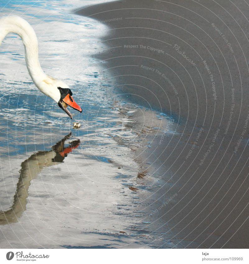 Bon Appétit! Wasser Meer Strand Tier Sand Vogel Küste Erde Feder Spiegel Ostsee Hals Fressen Schnabel Schaum Spiegelbild