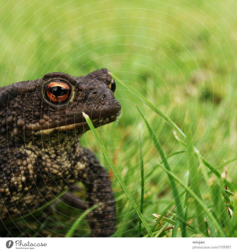 Küss mich :* Wasser grün Tier Auge Wiese Gras klein braun Hintergrundbild Wildtier sitzen warten groß hoch stehen Rasen