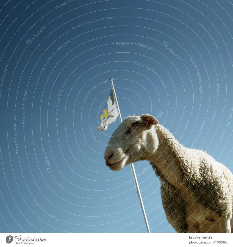 bindera e besch Tier Fahne Schweiz Bauernhof Fell Landwirtschaft Weide Schaf Säugetier Bioprodukte Alm Wolle Fahnenmast Lamm Kanton Landleben