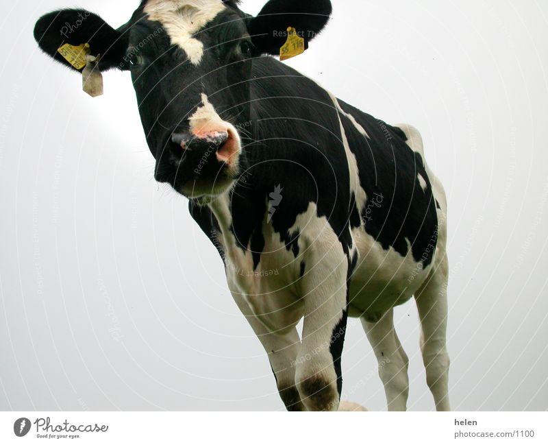 milchkuh Kuh Lebensmittel