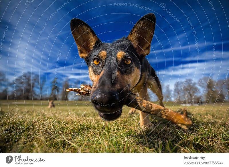 Neugierig Tier Wolken Gras Haustier Hund 1 Holz Spielen blau braun grün schwarz weiß Augen Mischling Schnauze Stock Säugetier himmel Farbfoto Außenaufnahme