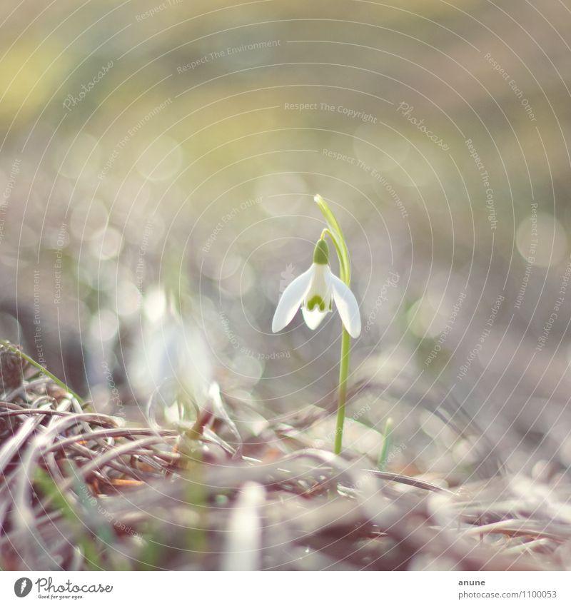 Zartes Glöcklein Natur Pflanze schön Einsamkeit Blume Umwelt Frühling Blüte Wachstum elegant frisch Klima Beginn niedlich einzigartig