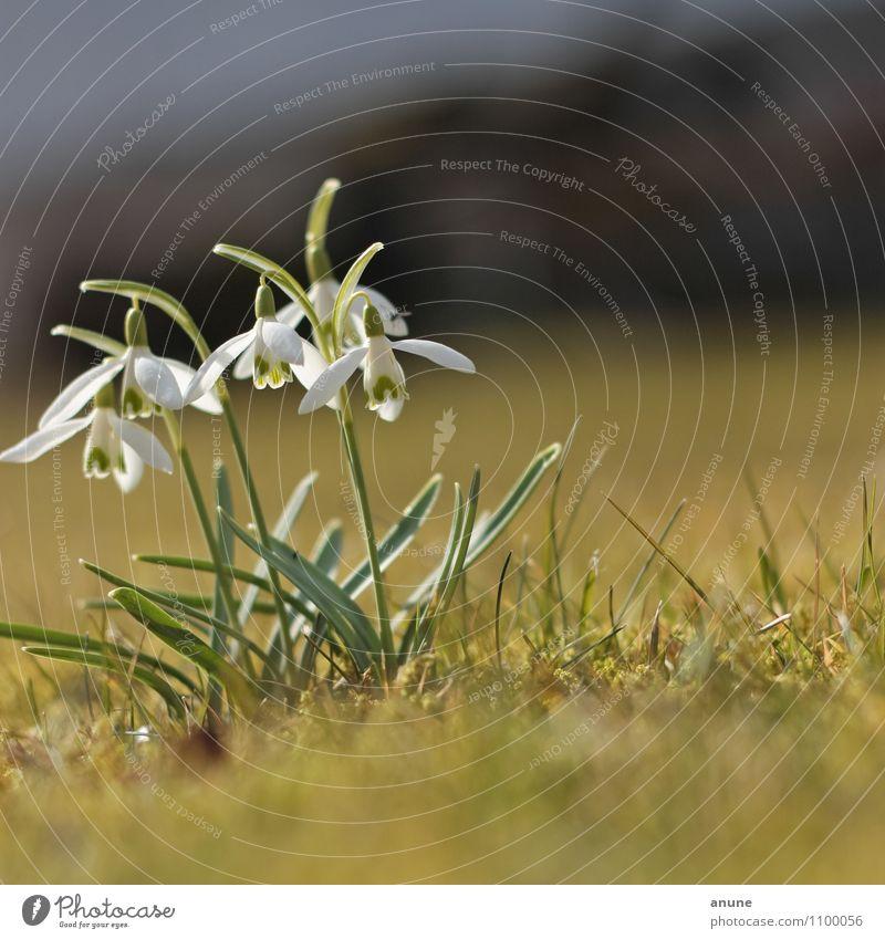 Schneeiges Geglöck Natur Pflanze schön Blume Umwelt Wiese Frühling Blüte natürlich Wachstum frisch Klima niedlich Blühend Schönes Wetter Wandel & Veränderung